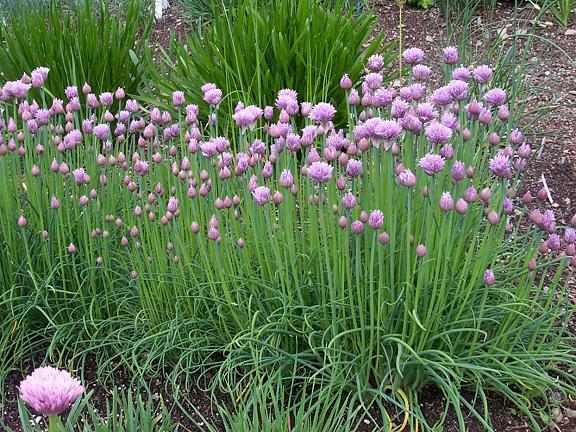 Allium_schoenoprasum_plant